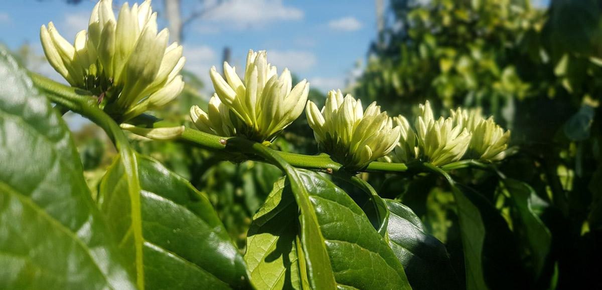 Cà phê Viccoffee  được tuyển chọn từ 2 vùng nguyên liệu ngon nhất Việt Nam