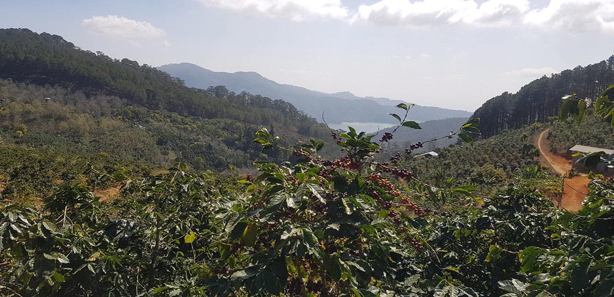 Arabica cầu đất, Lâm Đồng, Đà Lạt.